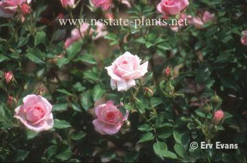 Rosa 'SPIcup'