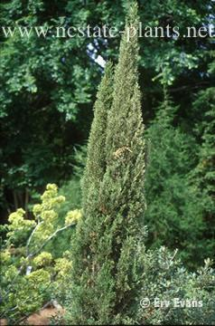 Photo of Cupressus sempervirens