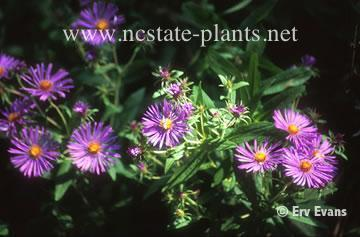 Aster curtisii