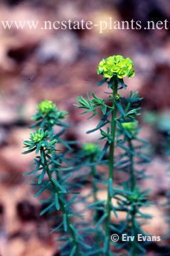 Euphorbia cyparissias