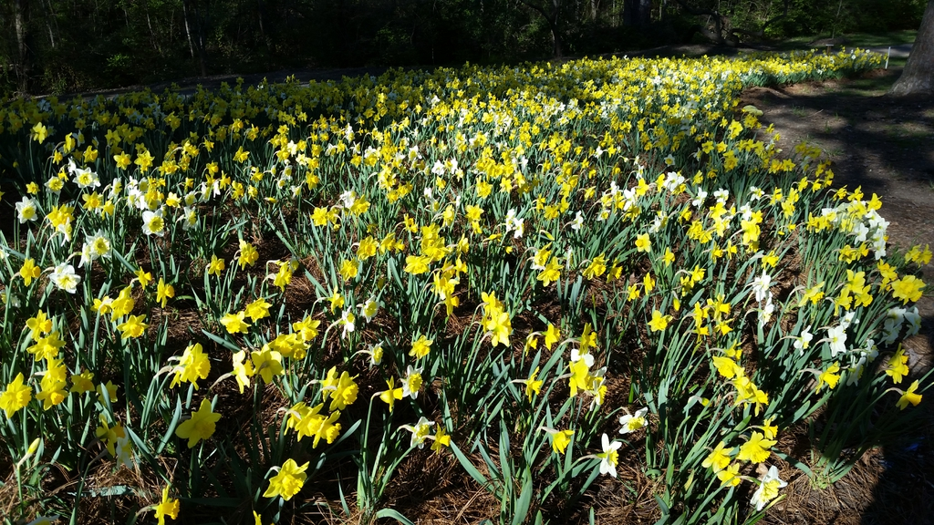 A field of daffodils taken in Hurley Park, Salisbury, NC