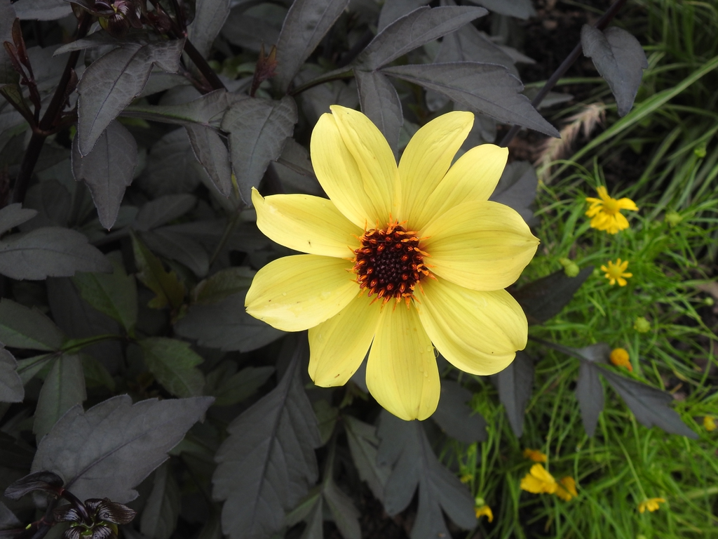 Dahlia 'Knockout' Mystic Illusion flower