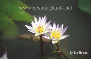 Nymphaea 'Daubeniana'