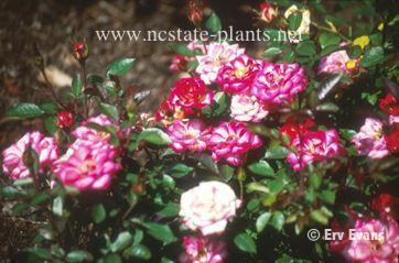Rosa 'MELbarke'