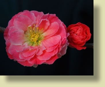 Double Take™  'Pink Storm' Chaenomeles speciosa