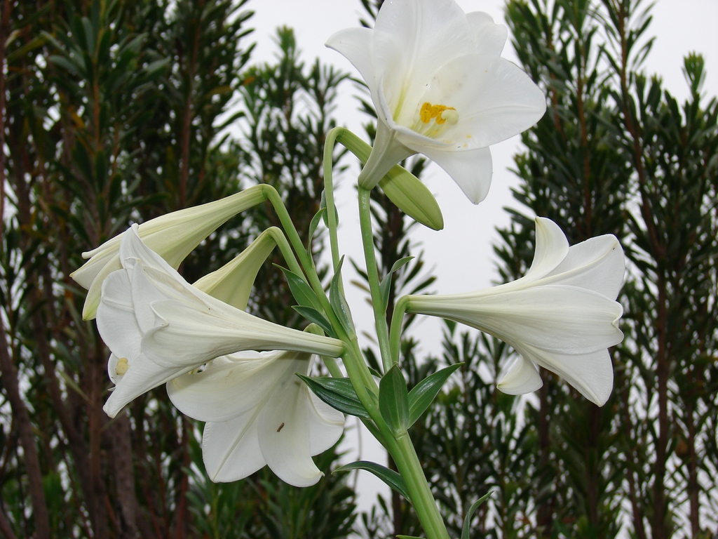 Formosana hybrid, Easter lily.