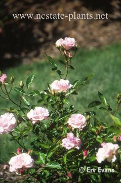 Rosa 'Echo'
