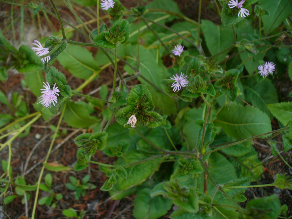Elephantopus tomentosus in the summer in Moore County