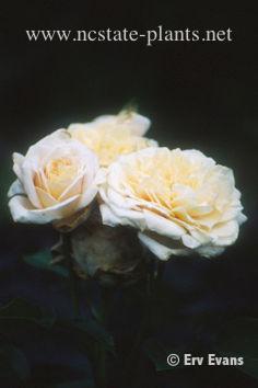 Rosa 'AUSbuff'