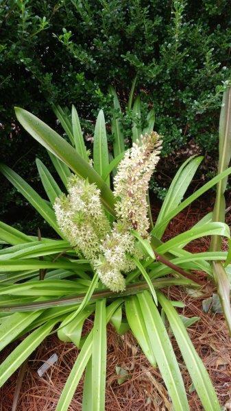 Eucomis comosa flower