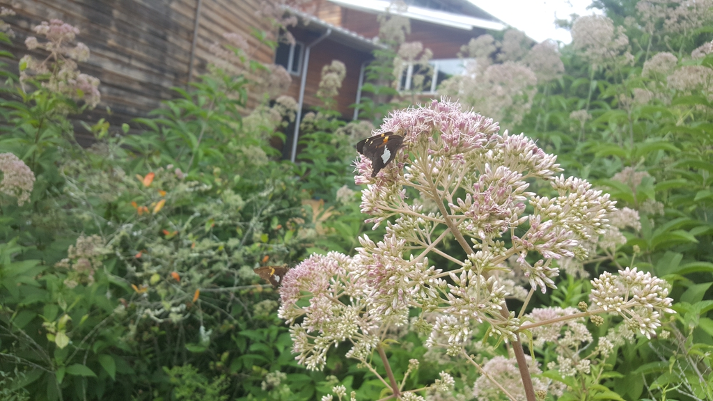 Queen of the Meadow