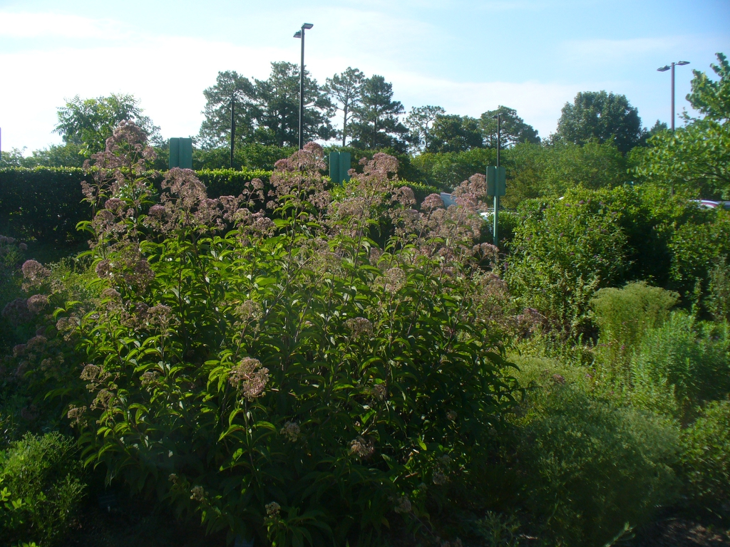 Form: Eupatorium purpureum in summer in Moore County
