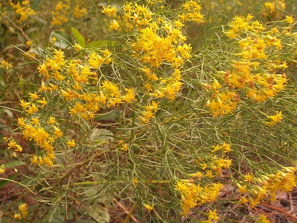 Euthamia caroliniana in the fall in Moore County