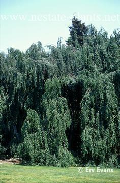 Photo of Fagus sylvatica f. pendula full