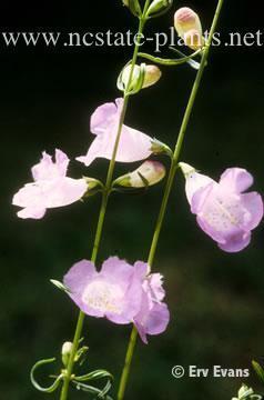 Aureolaria gerardia