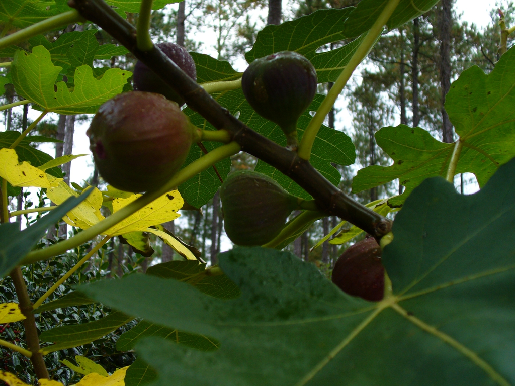 Ficus carica 'Brown Turkey' fruit in summer in Moore County