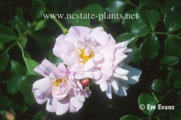 Rosa 'Flower Carpet Appleblossom'