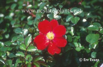 Rosa 'Flower Carpet Red'