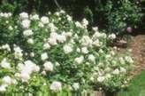 Rosa 'F. K. Druschki'