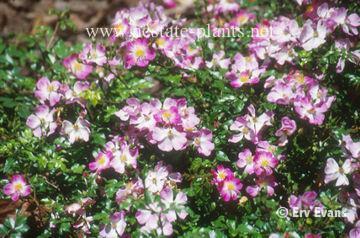 Rosa 'Garden Blanket'