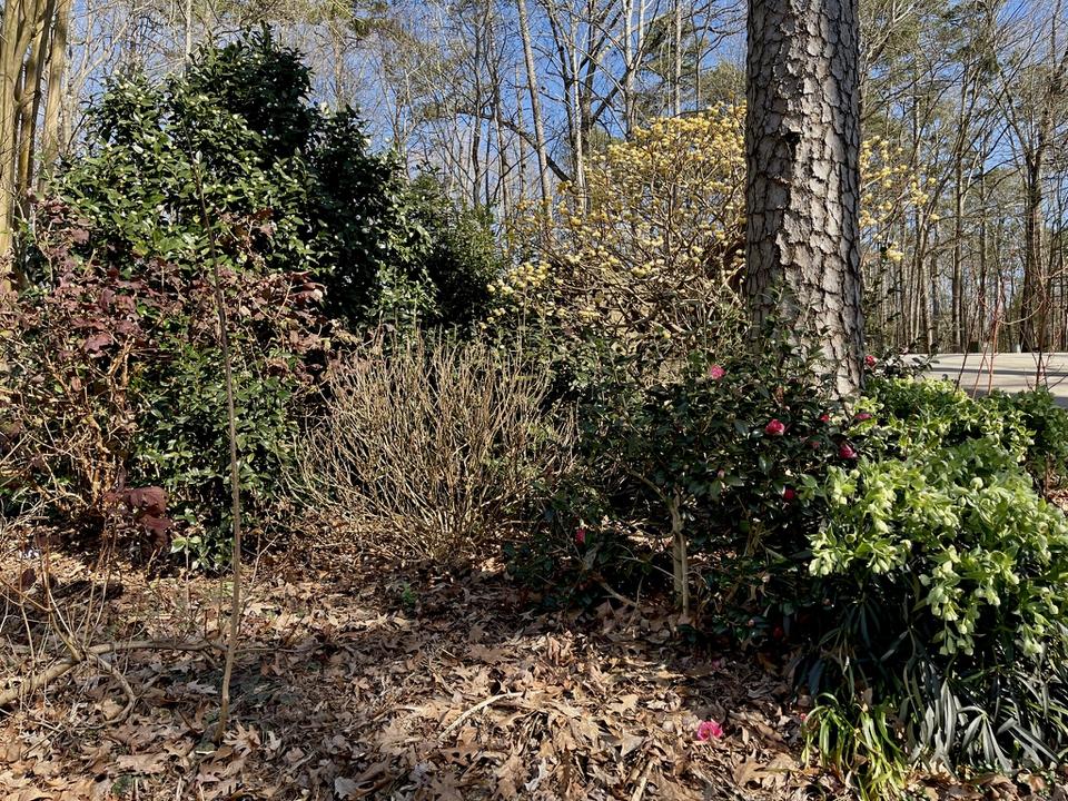Edgeworthia & camellias add winter color