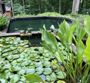 Water lilies in the upper pond