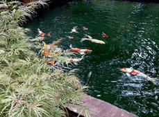 Colorful Koi pond along with a few gold fish