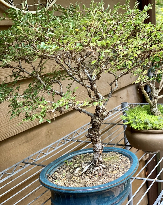 Bonsai Cork Bark Elm