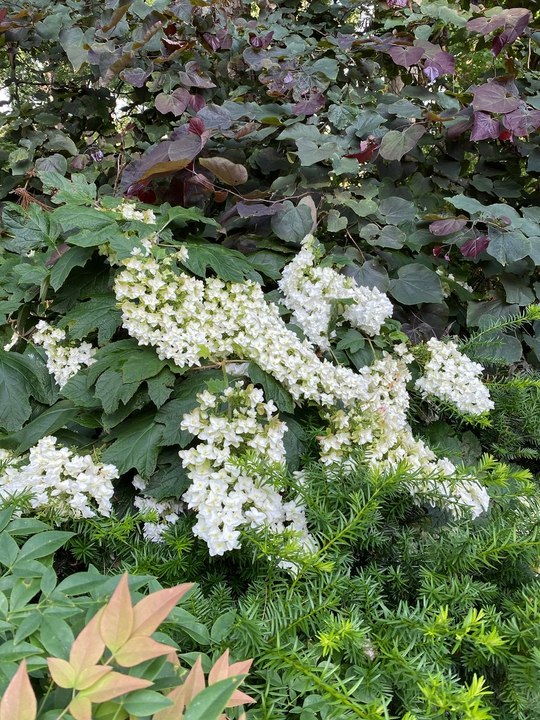 Oak leaf hydrangea 'Snowflake'