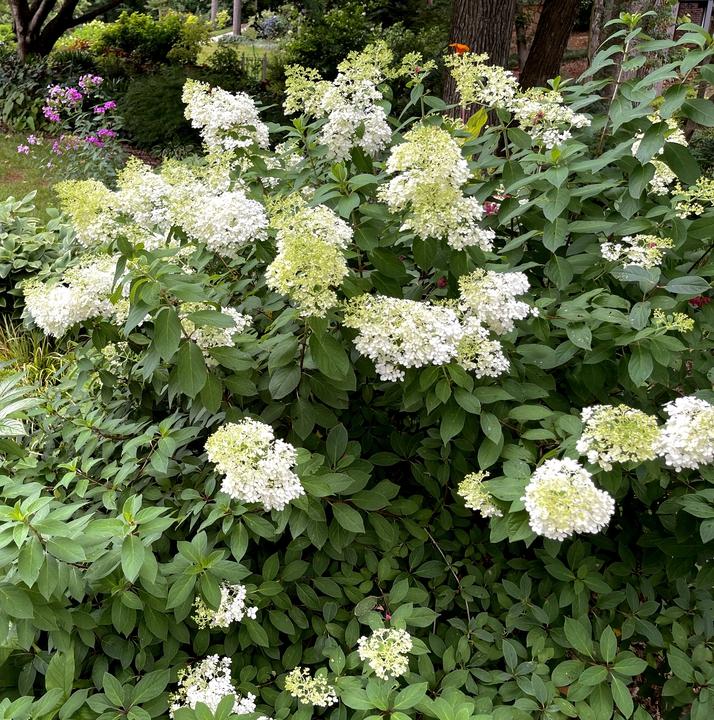 Bobo Paniculata hydrangeas stays smaller than many
