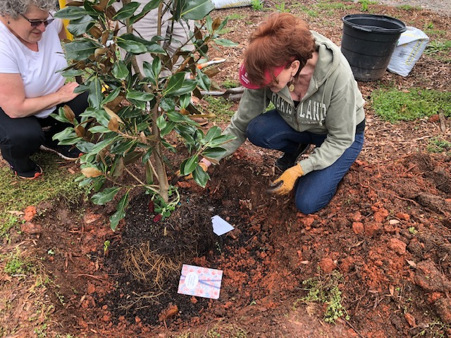 A person kneeling next to a potted Magnolia tree in a hole.