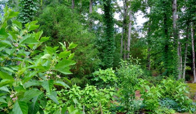 Native/Woodland Garden in the Summer