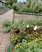 Marigolds & herbs