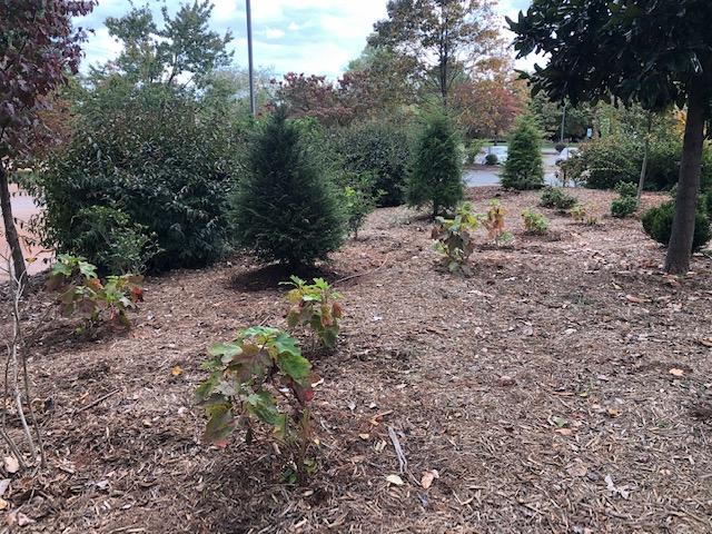 Memorial Garden with Hydrangea quercifolia in the Fall