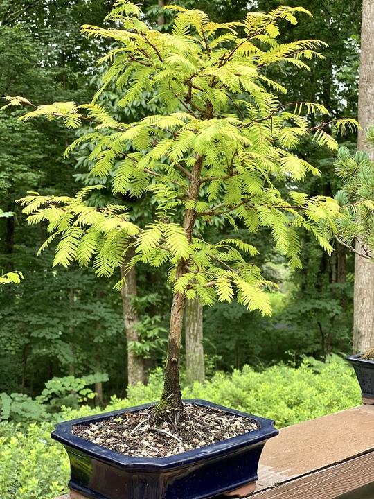 Bonsai dawn redwood