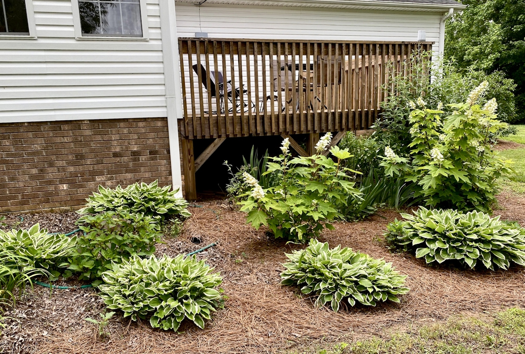 By Deck, Hydrangeas & Hosta