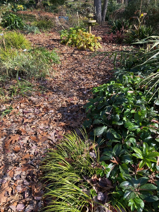 Late fall, hellebores & carex  are evergreen