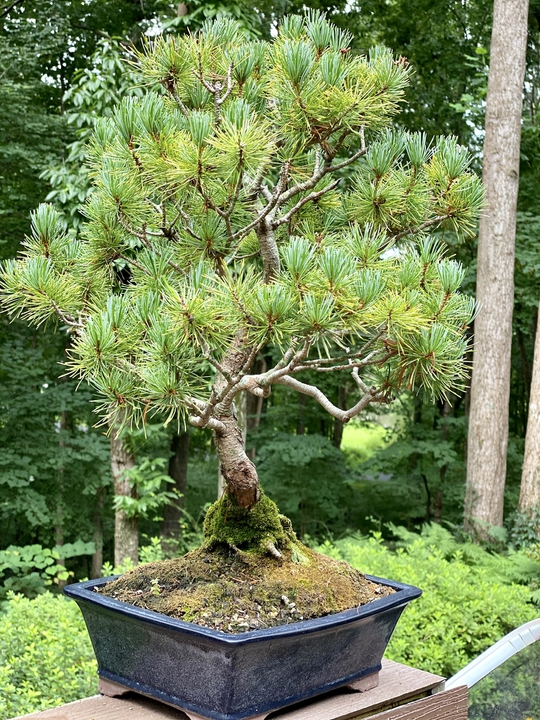 Bonsai White pine