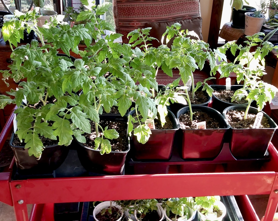 Tomatoes in sunroom