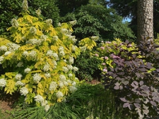 'Little Honey' Hydrangea in Bloom