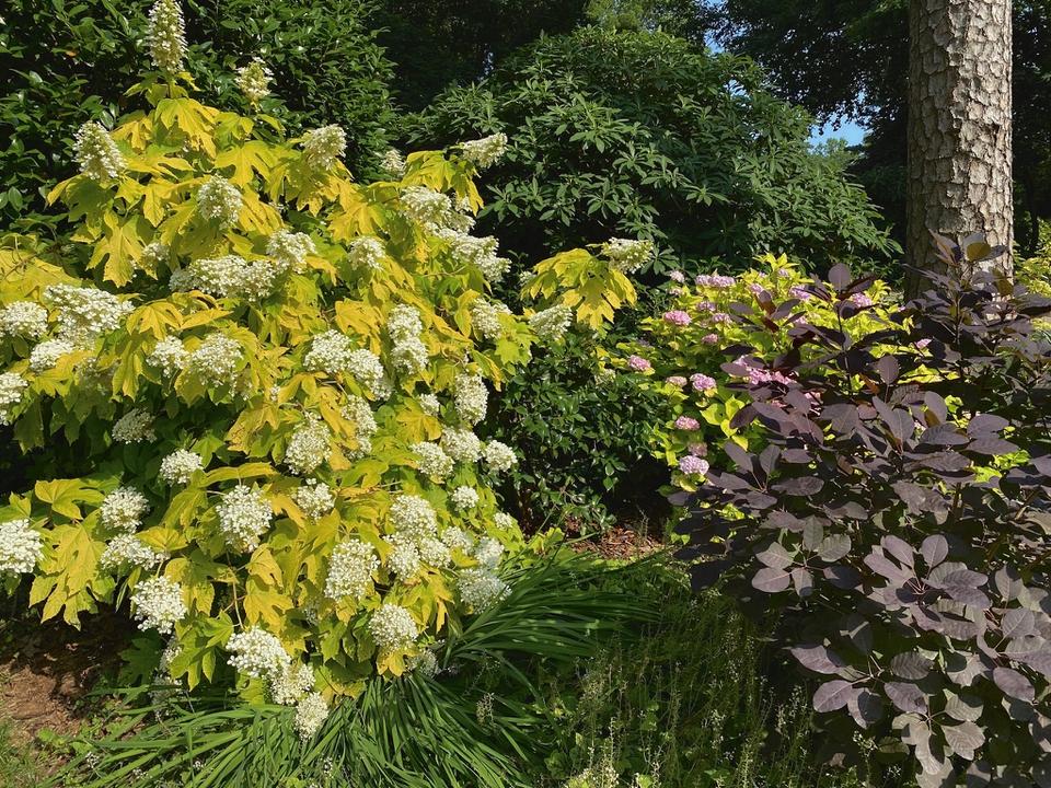 'Little Honey' Hydrangea in Bloom