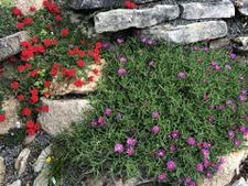 Verbena & Iceplant