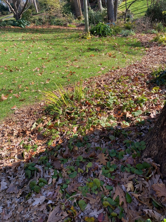 Late fall, the ginger will soon disappear for the winter