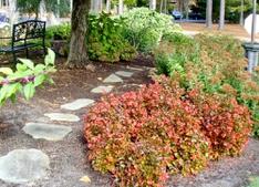Begonias in full glory