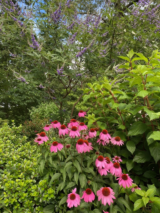 Coneflower with Vitex
