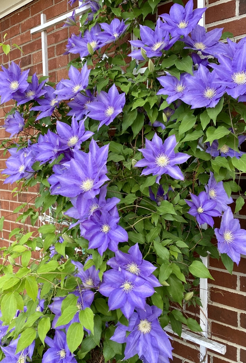 Clematis well positioned