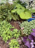 Hosta & ferns