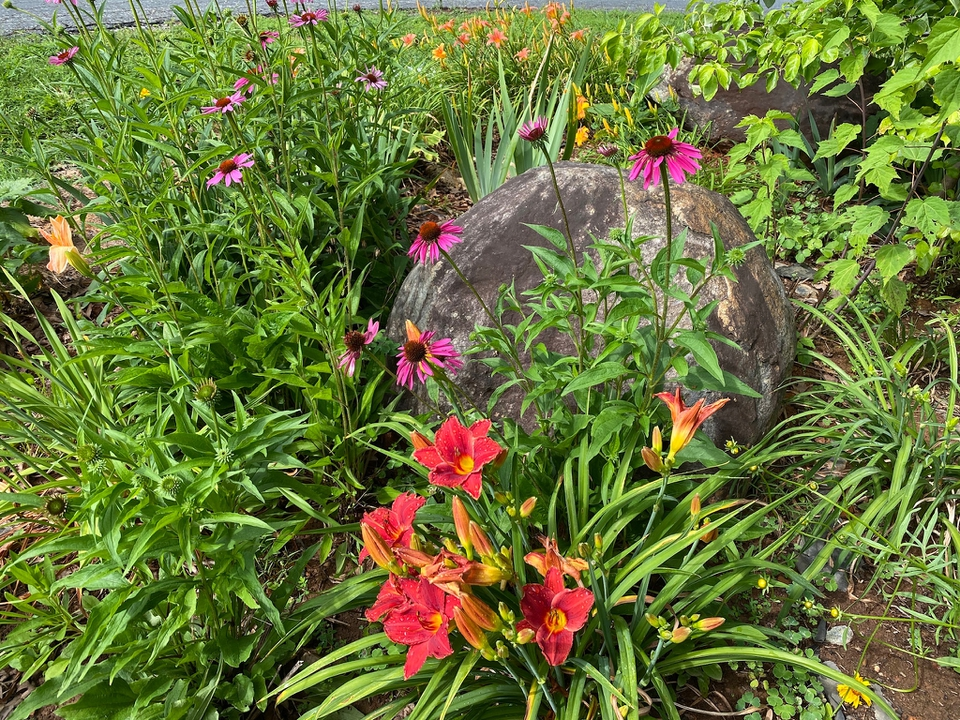 Red Daylily pops against rock