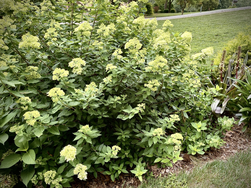 Little Lime Hydrangea blooms mid summer & grows to 5'