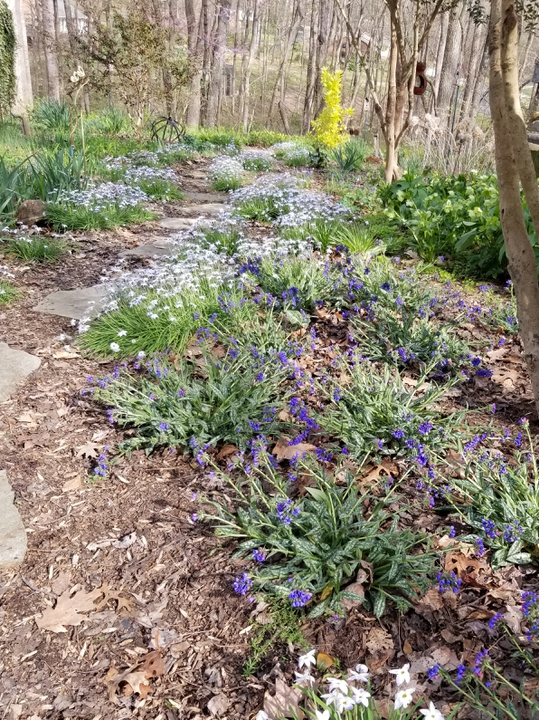 Winter walk with starflowers & pulmonaria